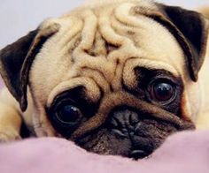 摘要:大家看到巴哥犬的第一眼一定都會覺得臉全部皺在一起好醜!不過其實八哥犬的個性很溫和安定,短小可愛的樣子也受到很多朋友的喜愛。今天就和小編一起來認識巴哥狗吧!說不定你會愛上這個小可愛的噢!  一、巴哥犬品種與歷史  1、 觀賞犬俗名多  巴哥犬或八哥犬(英語:Pug)又稱作哈巴狗,是一種小型觀賞犬,巴哥犬面黑,有很多褶皺,成年時身高大約25到28厘米,體重約為6至8公斤,壽命大約為12到15年。  小百科:18世紀末正式命名為巴哥,其詞意古語為鬼,獅子鼻或小猴子的意思。  2、 肌肉壯似獒犬...  點我看詳文:http://www.momgoe.com/article2358.html  一、巴哥犬品種與歷史  1、 觀賞犬俗名多  巴哥犬或八哥犬(英語:Pug)又稱作哈...