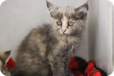 NO LONGER LISTED!!! Pictures of ACDC a Domestic Mediumhair for adoption in San Luis Obispo, CA who needs a loving home.