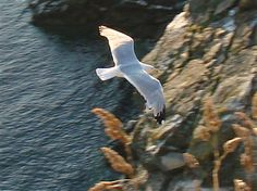 South Stack Cliffs Slideshow - South Stack Cliffs - South Stack Cliffs - The RSPB Community - Herring Gull