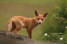 Fox by Helena Kuchynková on 500px