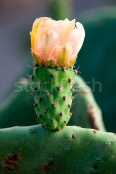 Yellow Prickly Pear Cactus Flower Stok fotoğraf © franky242
