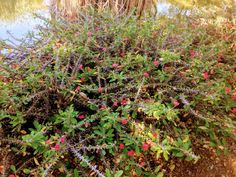 Copyright By Nkahloleng Eric Mohlala Copyright ©️ 2021 By Eric Nkahloleng Mohlala, www.mohlalaads.co.za Crown Of Thorns Plant, Gardening, Plants, Lawn And Garden, Euphorbia Milii, Plant, Planets, Horticulture
