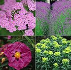 Sometimes you will find a spot in the garden which gets baking hot and the soil is usually bone dry. Most plants will give up quickly in these harsh conditions, but if you can remember to watere them well initially, the plants in this border will settle in quickly and thrive. In this collection you will receive one of each of the following varieties, each in a 9cm pot. Lavandula angustifolia 'Hidcote': A compact form of the popular English lavender, named after plantsman Laurence Johnston's…