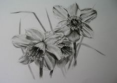 Daffodil black and white pencil sketch