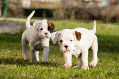 boxer puppies! At the end of this month we will have our own boxer puppies! I am so excited! Can u tell<3