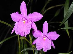 Sobralia callosa grows outdoors on CA central coast in summer, move to greenhouse in winter. Likes to be kept moist. Species from Panama showy fuchsia-purple flowers produced successively. Purple Flats, Orchid Show, Central Coast, Myrtle, Purple Flowers, Panama, Orchids, Bloom, Flowers