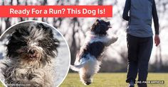 The schapendoes' jumping ability is one of the breed's most notable traits, but they also run like the wind and will join you for all your athletic activities. https://healthypets.mercola.com/sites/healthypets/archive/2017/11/16/schapendoes.aspx?utm_source=petsnl&utm_medium=email&utm_content=art1&utm_campaign=20171116Z1&et_cid=DM165744&et_rid=120027872