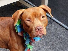 TO BE DESTROYED 09/14/14  Manhattan Center - P  My name is MINDY. My Animal ID # is A1012214. I am a female brown and white pit bull mix. The shelter thinks I am about 2 YEARS old.  I came in the shelter as a STRAY on 08/29/2014 from NY 10466, owner surrender reason stated was STRAY.