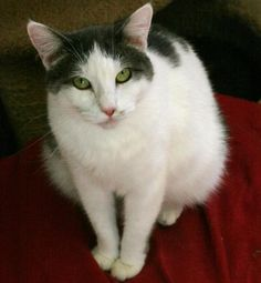 """Kitty Carlisle  Domestic Short Hair • Adult • Female • Small San Gabriel Valley Humane Society San Gabriel, CAMs. Carlisle loves a good lap. She can fall in love easily and not want to give up her """"cushion"""". Adopt her and be ready to have a faithful ..."""