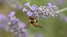 abeille - Résultats Yahoo France de la recherche d'images Images, Bee, France, Gray Hair, Search, Honey Bees, Bees, French