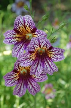 Painted Tongue: Salpiglossis sinuata 'Bolero' // Great Gardens & Ideas // Up close, the design on the petals almost looks like a the wing of a butterfly. Rare Flowers, Flowers Nature, Exotic Flowers, Cut Flowers, Amazing Flowers, Purple Flowers, Beautiful Flowers, Unique Flowers, Cool Plants