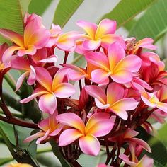 Plumeria For Sale, Plumeria Tree, Flower Lei, Flower Pots, Exotic Flowers, Yellow Flowers, Pink Yellow, Pink White, Flower Pot Design