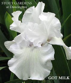 Iris GOT MILK, an all white tall bearded iris by Aitken, available at Stout…