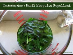 Make Your Own Basil Mosquito Repellent {accidentallygreen.com}