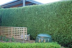Pittosporum Silver Sheen - suggested by Tracy for tennis court hedging Privacy Hedges Fast Growing, Fast Growing Hedge, Fast Growing Evergreens, Fast Growing Plants, Screen Plants, Privacy Plants, Pittosporum Silver Sheen, Privacy Screen Outdoor, Privacy Fences