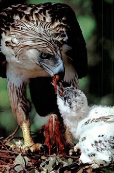 A mother Philippine Eagle feeding it's eaglet..!!!