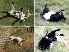 Singularly and en masse these fainting goats freeze for a number of seconds and generally fall over when startled.