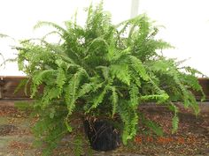 For tropical plants or other plant delivery, Phoenix Plants delivers to the Phoenix Convention Center or anywhere in the Greater Phoenix Area. Plant Delivery, Plant Identification, Free Plants, Tropical Plants, Ferns, Mobile App, Phoenix, Garden, Check