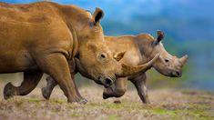 Bing Images - White Rhinos - © 2015 Microsoft