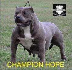 Gotti Pitbull Puppies White