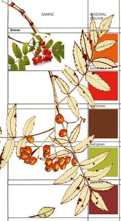 Planet Sam: Colour from the Season - Rowan berry orange Botanical Line Drawing, Botanical Drawings, Botanical Illustration, Botanical Flowers, Botanical Prints, Copic, Watercolor Flowers, Watercolour, Painted Pumpkins