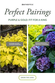Make your purple plants pop by pairing them with gold-leaved plants. Seaside Serenade® Newport Hydrangea gets the royal treatment when crowned with golden-leaved plants like Japanese Spikenard nearby. Shades Of Purple, Purple Gold, Purple Plants, Soil Ph, Cut Flowers, Newport, Hydrangea, Garden Landscaping, Color Change