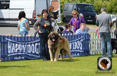 delboy at belgian shepherd show