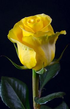 rose jaune at DuckDuckGo Beautiful Rose Flowers, Love Rose, All Flowers, Exotic Flowers, Beautiful Things, Hybrid Tea Roses, Flower Pictures, Rose Buds, Yellow Flowers