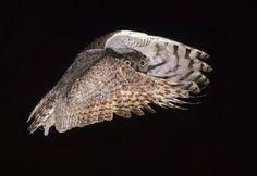 Great Horned Owl, photo from the Audubon Society. I Like Birds, All Birds, Beautiful Birds, Animals Beautiful, Extreme Photography, Saw Whet Owl, Short Eared Owl, Audubon Birds, Barred Owl