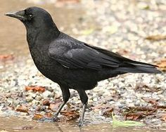 American Crow: American Crow