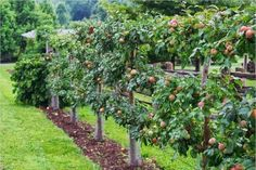 Brilliant Fruit Trees Gardening Ideas Small Backyard Brilliant Fruit Trees Gardening Ideas Small Backyard Related posts: No related posts. Espalier Fruit Trees, Fruit Tree Garden, Garden Trees, Small Trees For Garden, Potager Garden, Edible Garden, Vegetable Garden, Small Backyard Gardens, Backyard Landscaping