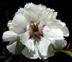 Paeonia suffruticosa #5 | Flickr - Photo Sharing!