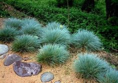 Blue Fescue Festuca glauca