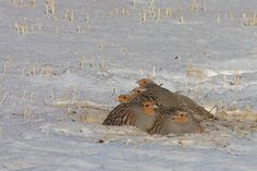 A covey of partridges
