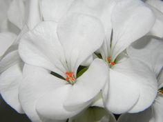 Pelargonium, Blanco, Flor, Geranio, Flores, Floración