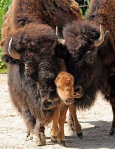 Bison family Kodak moment- Thank You😁👏👏👏👏😁 We built Deerfoot Trail,in Calgary too. Thank You, Bison Family🥁👋👏 Animals Of The World, Animals And Pets, Baby Animals, Wild Animals, Zebras, Beautiful Creatures, Animals Beautiful, Baby Bison, Photo Animaliere