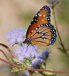 Queen butterfly by John Gilkey