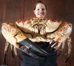 Gigantesco cangrejo rey de Tasmania salvado de la olla - Monster Tasmanian King Crabs are saved from the pot and shipped to Britain for aquarium display