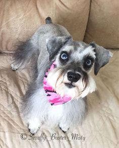 Schnauzer Puppy, Miniature Schnauzer, Schnauzers, I Love Dogs, Puppy Love, Dogs And Puppies, Blues, Pets, Baby
