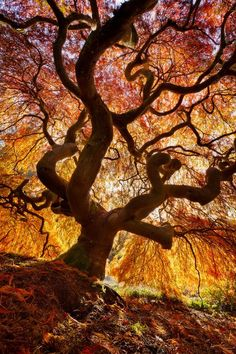 Funny pictures about Fire Tree. Oh, and cool pics about Fire Tree. Also, Fire Tree. Flame Tree, Maple Tree, Japanese Maple, Japanese Tree, Jolie Photo, Weird And Wonderful, Land Art, Autumn Trees, Autumn Fall