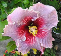 This Dupont-Gerlich hybridized tropical hibiscus bloom is called called Madame Dupont.  It blooms as a single, but can also develop petaloids.  I think it was named after Mr. Dupont's grandmother.  I have been told that it will set seed and that its pollen is fertile.