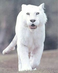 Albino Tiger...wow!  Just a few light rings on tail