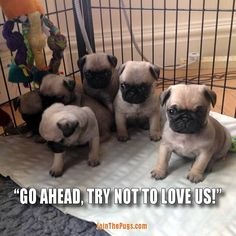 pugs are to cute