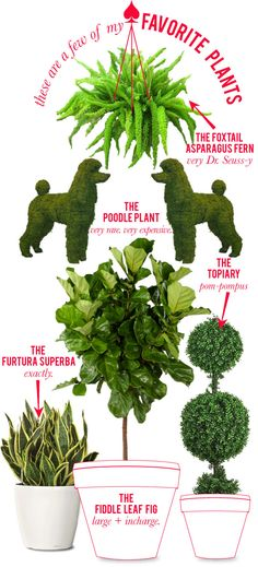 Great Plants -- love the Foxtail Asparagus Fern! Outdoor Plants, Garden Plants, Outdoor Gardens, Potted Plants, Bonsai, Asparagus Fern, Inside Plants, Fiddle Leaf Fig, Container Gardening