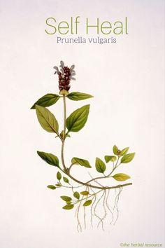 Self Heal Prunella vulgaris. Conjunctivitis, wounds, sore throat, eczema, psoriasis, lower blood pressure... Found in Europe and North America
