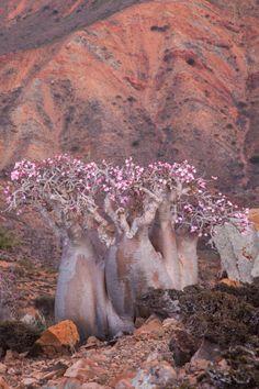 Desert Rose Trees on Socotra Island, Yemen Socotra, Weird Trees, Desert Rose Plant, Rose Trees, Unique Trees, Unusual Plants, Nature Tree, Tree Forest, Belleza Natural