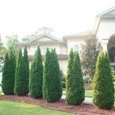evergreen landscaping trees and shrubs - Google Search