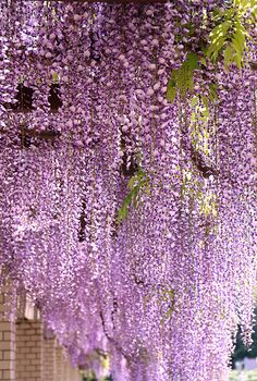 Wisteria - This is so beautiful. Wisteria needs a strong frame or arbor to support its weight. Pruning is a must or its growth will get out of hand. Flower Power, My Flower, Bonsai, Bouquet, All Things Purple, Shades Of Purple, Dream Garden, Trees To Plant, Garden Plants
