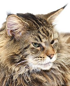 Maine Coon Cat Used to have one as a kid such a pretty boy Elisha Blue loved that cat