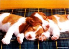 Two little puppies taking a nap.